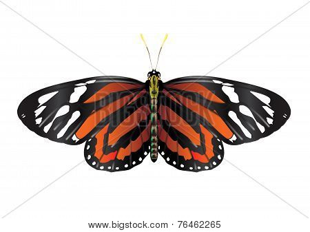 Monarch Butterfly - vector