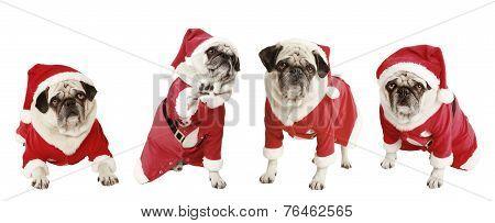 Four Pugs As Santa Claus