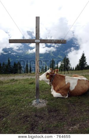 Cow and the cross 1