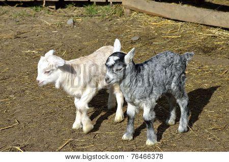 Baby goats at farm