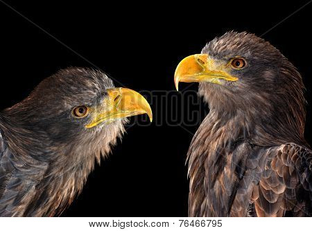 Sea eagles isolated on black background
