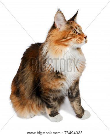ginger tortie Maine Coon cat looking at right