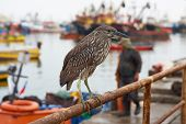 Juvenile Black Crowned Night Heron (Nycticorax nycticorax) perched on a fishing boat in the harbour at Arica in Northern Chile. poster