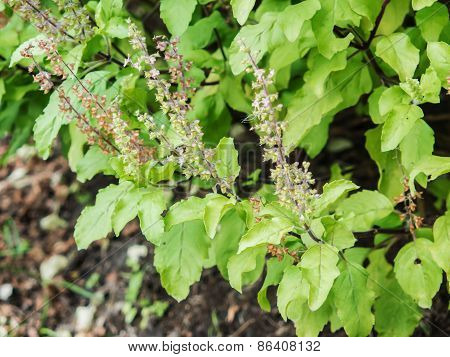 Holy basil Sacred Basil (Ocimum sanctum) Lamiaceae (Labiatae) poster