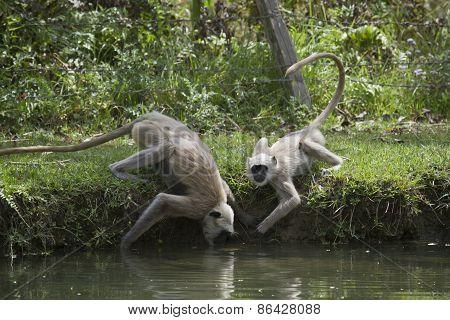 Semnopithecus entellus,  Semnopithecus entellus, hanuman langur drinking water at Bardia national pa