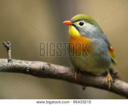 Peking robin bird