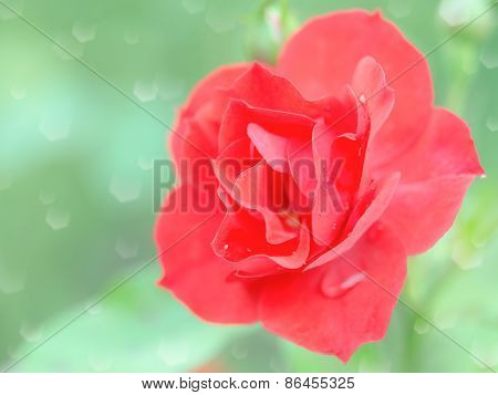 Wet Tender Red Rose Flower With Rain Drops