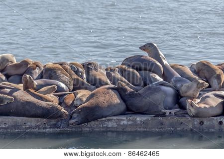 Sea Lions Snoozing on Jetty