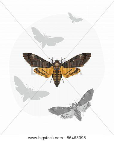 Death's-head Hawk moth (Acherontia Atropos)