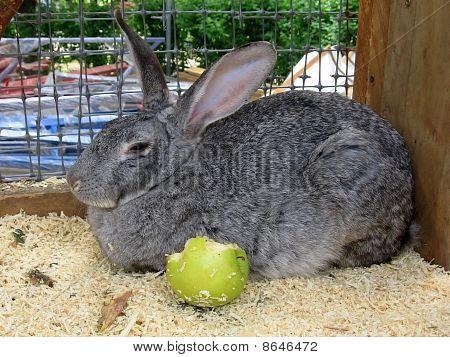 Rabbit With Apple