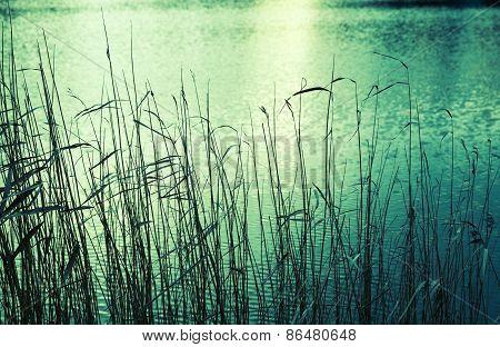 Coastal Reed Silhouettes, Green Toned Photo