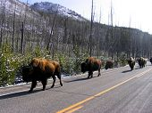 herd of bison lined up in a road in yellowstone. did you know bison is the 3rd most aggressive animal in yellowstone? poster