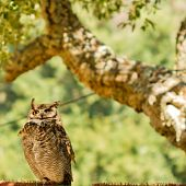 Great horned Owl (bubo virginianus) on a tree branch poster