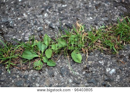 Green plants growing on a tarred road. poster