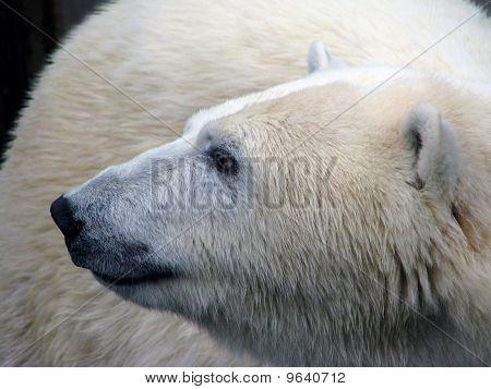 Profile of the polar bear