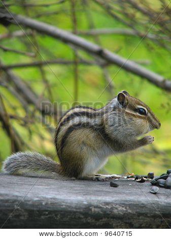 Chipmunk eats the seeds
