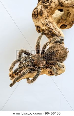 Tarantula on branch