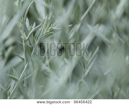 Feathery gray foliage of Artemisia. Close up with selective focus. poster