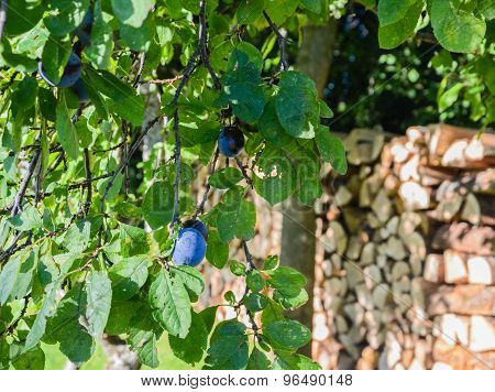 Plum Tree With Foliage And Damson On Wood Pile In Background