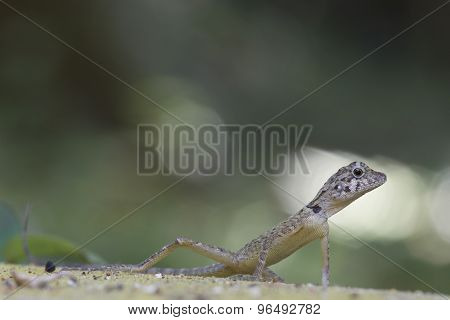Forest dragon of the tropical forests of India