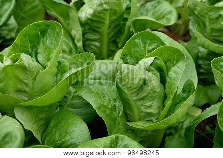 Close Up Little Gem Romaine Lettuce.