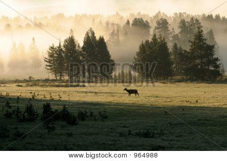 Yellowstone Elk In Fog