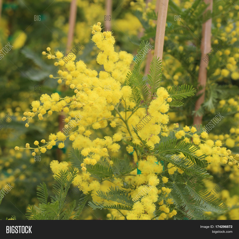 Yellow Mimosa Flowers Image Photo Free Trial Bigstock
