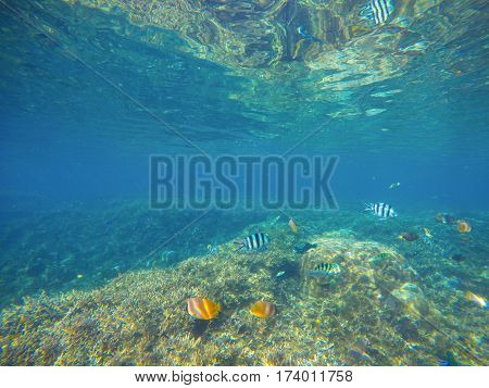 Tropical fish Butterflyfish by sand sea bottom. Tropical seashore life. Coral reef and fishes ecosystem. Turquoise blue seawater with colorful coral fish. Snorkeling photo of yellow butterflyfish
