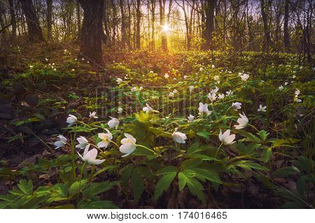 Beautiful white adonis flowers in a warm light of sunset. Spring forest.
