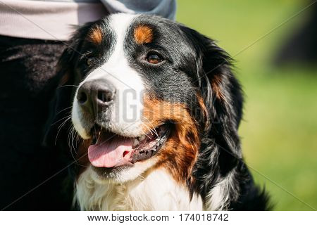 Farm Dog Bernese Mountain Dog Berner Sennenhund Close Up. Portrait Of Bernese Mountain Dog, Berner Sennenhund, Bernese Cattle Dog