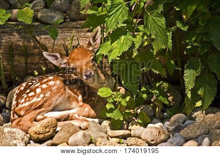 Fawn resting and peeking from under the protection of the bush.
