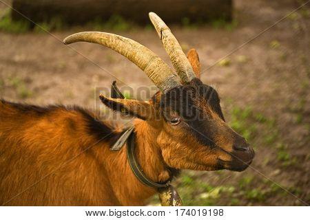 Billy Goat Gruff. Resident of the Geneva Arboretum, Switzerland.