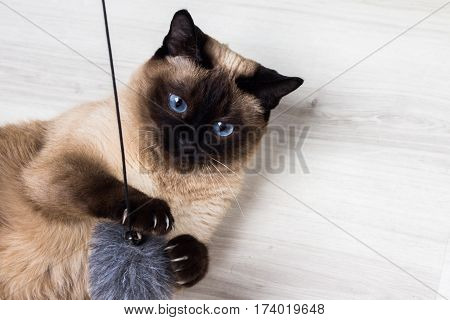 Beautiful Siamese Thai Cat Plays With A Mouse In The House