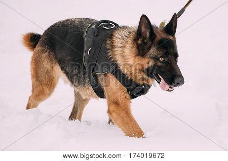 German Shepherd Dog Walking During Training. Winter Season. Training Of Purebred Adult Alsatian Wolf Dog