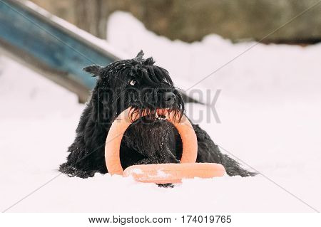 Funny Young Black Giant Schnauzer Or Riesenschnauzer Dog Playing With Ring Outdoor In Snow, Winter Season. Playful Pet Outdoors.