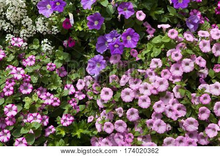 Petunia flowers. Background texture. France.