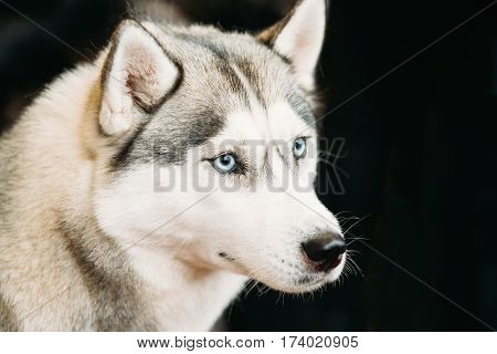 White And Gray Adult Siberian Husky Dog Or Sibirsky Husky With Blue Eyes Close Up Portrait On Dark Black Background