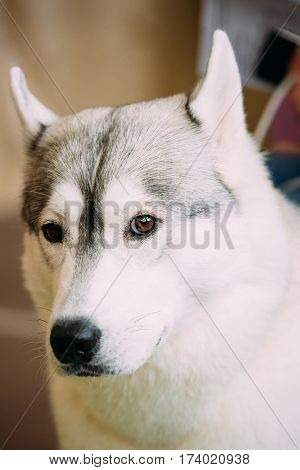 White And Gray Adult Siberian Husky Dog Or Sibirsky Husky Close Up Portrait