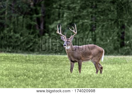 A white-tailed buck standing in a meadow in the Cades Cove section of the Great Smoky Mountains National Park