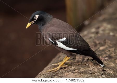 Common myna (Acridotheres tristis), also known as the Indian myna.