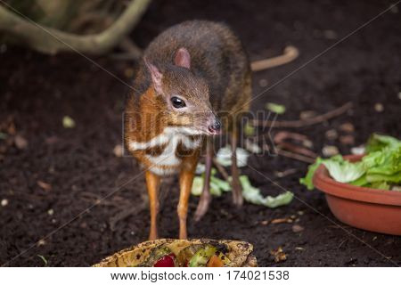 Java mouse-deer (Tragulus javanicus). Wildlife animal.