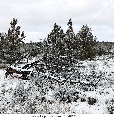 A dead and fallen tree covered in fresh snow in a juniper forest in Crook County in Central Oregon on a winter day.