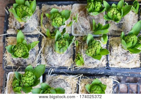 Many young green hyacinthes. Green hyacinth background.