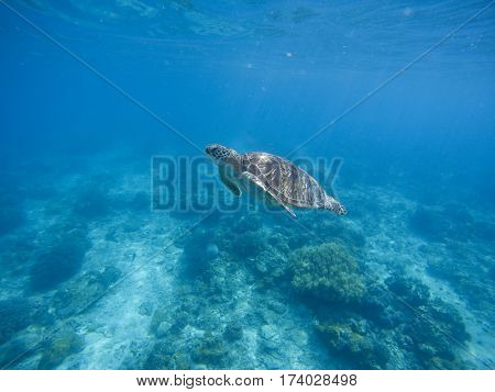 Sea turtle diving in deep blue water. Green turtle in sea water. Ecosystem of tropical seashore. Snorkeling with turtle image. Underwater landscape with sea animal. Green sea tortoise in blue water