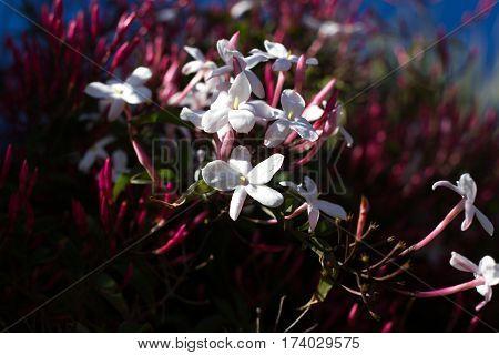Jasminum polyanthum, sambac pink flower and buds. Odorate star liana