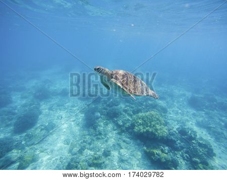 Sea turtle in Philippines sanctuary. Green turtle in sea water. Ecosystem of tropical seashore. Snorkeling with turtle image. Underwater landscape with sea animal. Green sea tortoise in blue water