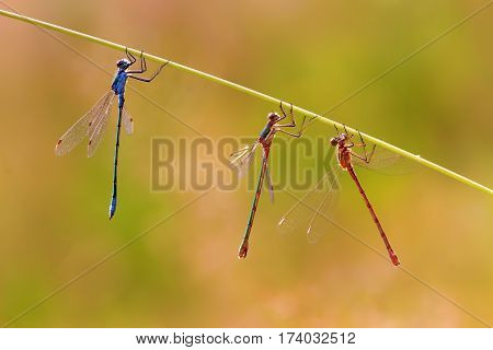 Three Dragonflies Hanging At A Grass Stalk