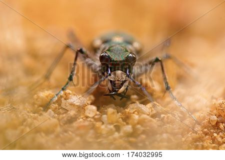 Macro Portrait Of A Tiger Beetle