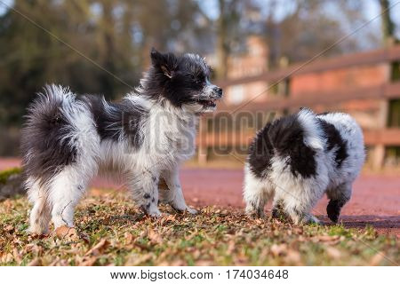 Picture Of Two Elo Puppies Outdoors