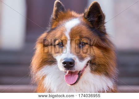 Head Portrait Of An Elo Dog